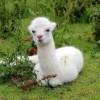 Bezoek aan de alpaca boerderij