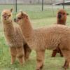 Een namiddag aan de slag met alpaca's